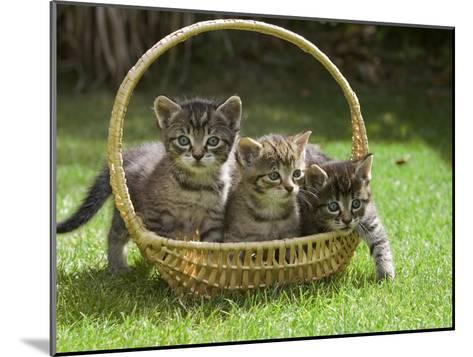Domestic Cat (Felis Catus) Three Kittens in a Basket, Germany-Konrad Wothe-Mounted Photographic Print