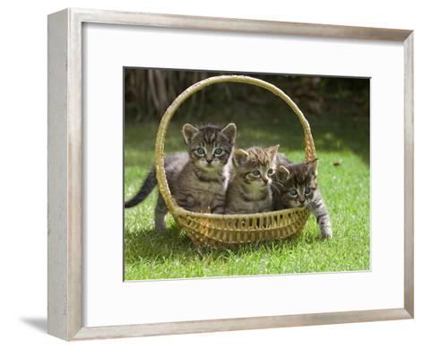 Domestic Cat (Felis Catus) Three Kittens in a Basket, Germany-Konrad Wothe-Framed Art Print
