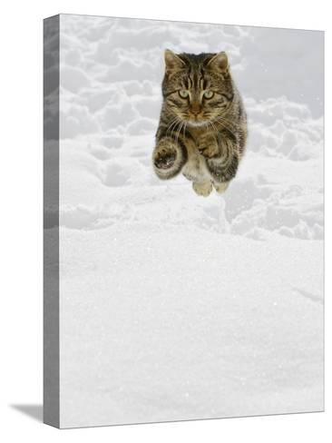 Domestic Cat (Felis Catus) Male Jumping in Snow, Germany-Konrad Wothe-Stretched Canvas Print