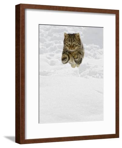 Domestic Cat (Felis Catus) Male Jumping in Snow, Germany-Konrad Wothe-Framed Art Print