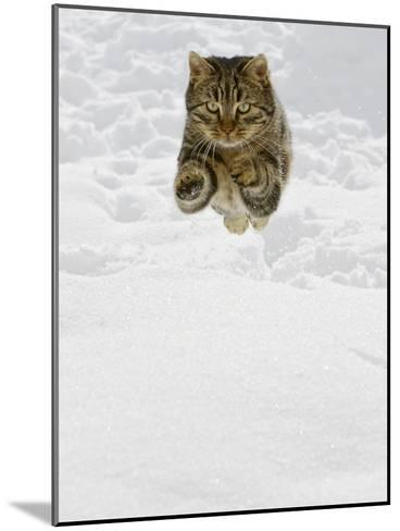 Domestic Cat (Felis Catus) Male Jumping in Snow, Germany-Konrad Wothe-Mounted Photographic Print