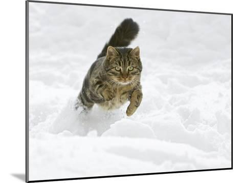 Domestic Cat (Felis Catus) Male Running in Snow, Germany-Konrad Wothe-Mounted Photographic Print