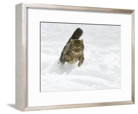 Domestic Cat (Felis Catus) Male Running in Snow, Germany-Konrad Wothe-Framed Art Print