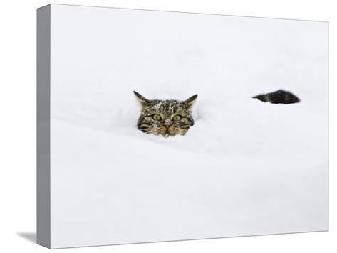 Domestic Cat (Felis Catus) in Deep Snow, Germany-Konrad Wothe-Stretched Canvas Print