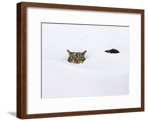 Domestic Cat (Felis Catus) in Deep Snow, Germany-Konrad Wothe-Framed Art Print
