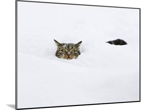 Domestic Cat (Felis Catus) in Deep Snow, Germany-Konrad Wothe-Mounted Photographic Print