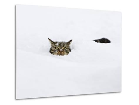 Domestic Cat (Felis Catus) in Deep Snow, Germany-Konrad Wothe-Metal Print