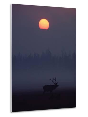 Elk or Wapiti (Cervus Elaphus) Silhouetted on Smoky Horizon, Yellowstone, Wyoming-Michael S^ Quinton-Metal Print