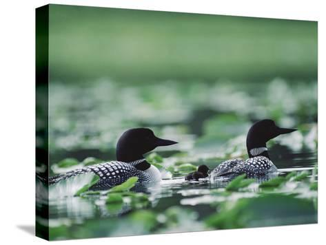Common Loon (Gavia Immer) Mated Couple Swimming Among Water Plants, Wyoming-Michael S^ Quinton-Stretched Canvas Print