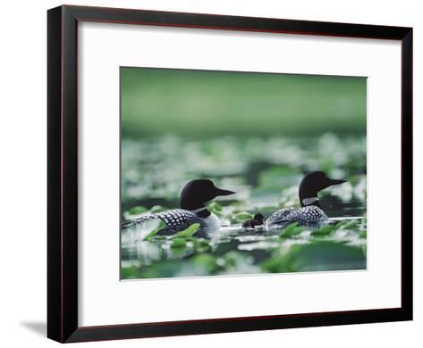 Common Loon (Gavia Immer) Mated Couple Swimming Among Water Plants, Wyoming-Michael S^ Quinton-Framed Art Print