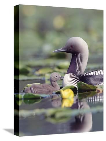 Pacific Loon (Gavia Pacifica) Parent and Chick Swimming Among Water Lilies-Michael S^ Quinton-Stretched Canvas Print
