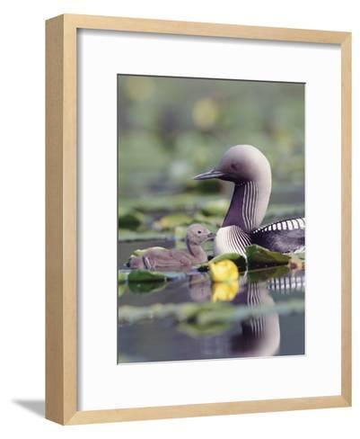 Pacific Loon (Gavia Pacifica) Parent and Chick Swimming Among Water Lilies-Michael S^ Quinton-Framed Art Print
