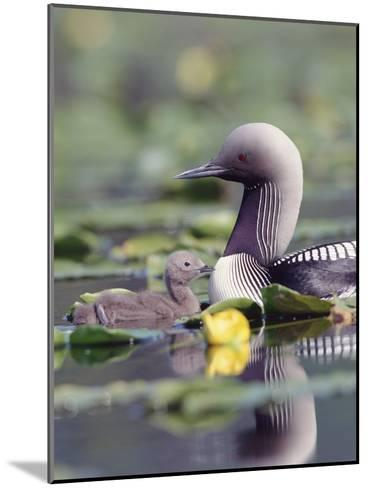 Pacific Loon (Gavia Pacifica) Parent and Chick Swimming Among Water Lilies-Michael S^ Quinton-Mounted Photographic Print