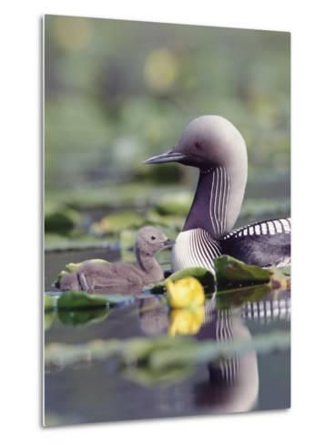 Pacific Loon (Gavia Pacifica) Parent and Chick Swimming Among Water Lilies-Michael S^ Quinton-Metal Print