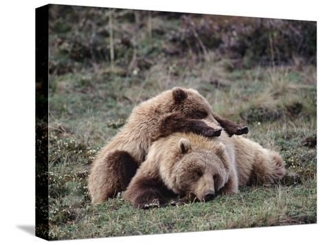 Alaskan Brown Bear or Grizzly Bear (Ursus Arctos) Mother and Cub Sleeping, Denali, Alaska-Michael S^ Quinton-Stretched Canvas Print