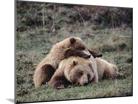 Alaskan Brown Bear or Grizzly Bear (Ursus Arctos) Mother and Cub Sleeping, Denali, Alaska-Michael S^ Quinton-Mounted Photographic Print