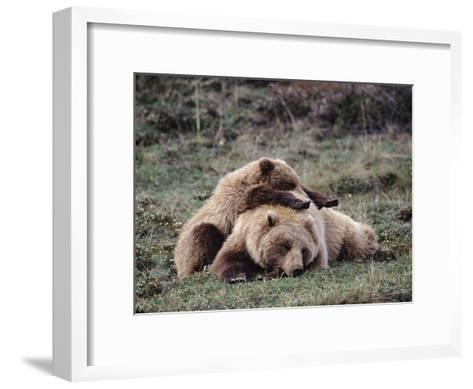Alaskan Brown Bear or Grizzly Bear (Ursus Arctos) Mother and Cub Sleeping, Denali, Alaska-Michael S^ Quinton-Framed Art Print