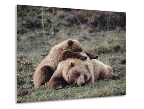 Alaskan Brown Bear or Grizzly Bear (Ursus Arctos) Mother and Cub Sleeping, Denali, Alaska-Michael S^ Quinton-Metal Print