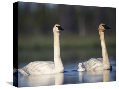 Trumpeter Swan (Cygnus Buccinator) Mother and Father with Single Chick-Michael S^ Quinton-Stretched Canvas Print