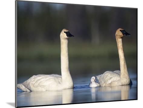 Trumpeter Swan (Cygnus Buccinator) Mother and Father with Single Chick-Michael S^ Quinton-Mounted Photographic Print