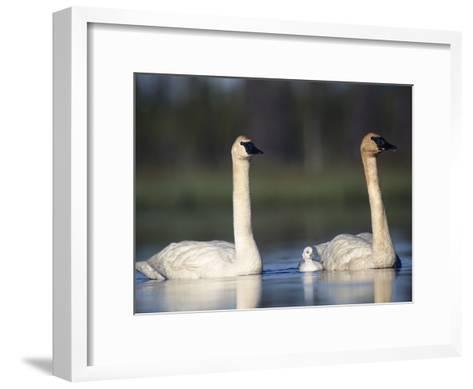 Trumpeter Swan (Cygnus Buccinator) Mother and Father with Single Chick-Michael S^ Quinton-Framed Art Print