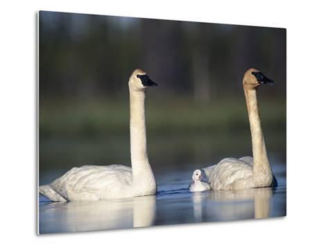 Trumpeter Swan (Cygnus Buccinator) Mother and Father with Single Chick-Michael S^ Quinton-Metal Print