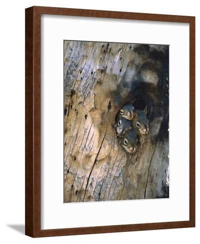 Red Squirrel (Tamiasciurus Hudsonicus) Four Young at Entrance to Nest in a Tree, Alaska-Michael S^ Quinton-Framed Art Print