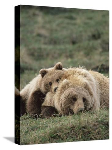 Alaskan Brown Bear or Grizzly Bear (Ursus Arctos) Mother and Cub Resting, Denali , Alaska-Michael S^ Quinton-Stretched Canvas Print
