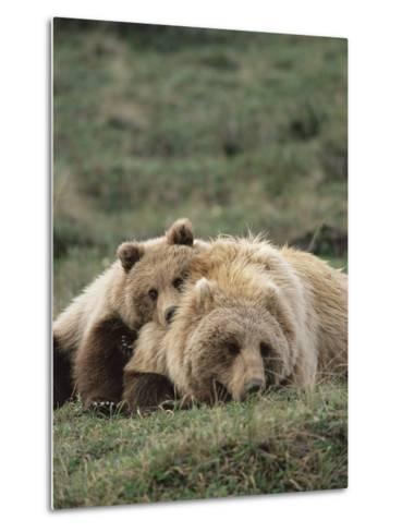 Alaskan Brown Bear or Grizzly Bear (Ursus Arctos) Mother and Cub Resting, Denali , Alaska-Michael S^ Quinton-Metal Print