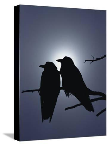 Raven (Corvus Corax) Pair Perching on a Branch, Backlit by Filtered Sunlight-Michael S^ Quinton-Stretched Canvas Print