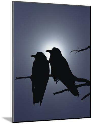 Raven (Corvus Corax) Pair Perching on a Branch, Backlit by Filtered Sunlight-Michael S^ Quinton-Mounted Photographic Print