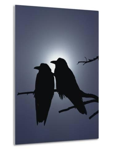 Raven (Corvus Corax) Pair Perching on a Branch, Backlit by Filtered Sunlight-Michael S^ Quinton-Metal Print