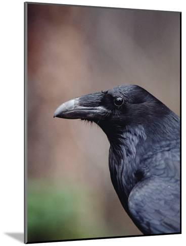 Raven (Corvus Corax), Yellowstone National Park, Wyoming-Michael S^ Quinton-Mounted Photographic Print