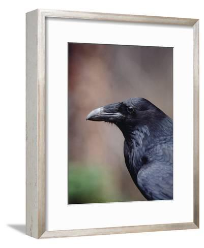 Raven (Corvus Corax), Yellowstone National Park, Wyoming-Michael S^ Quinton-Framed Art Print