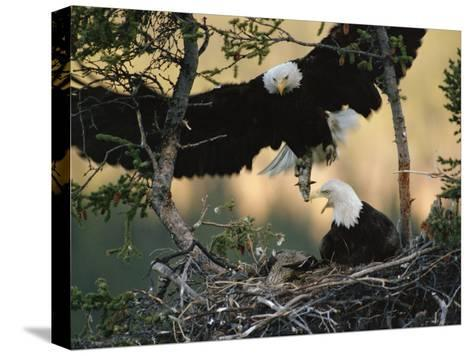 Bald Eagle (Haliaeetus Leucocephalus) Returning to Nest with Food for Chicks, Alaska-Michael S^ Quinton-Stretched Canvas Print
