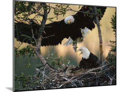 Bald Eagle (Haliaeetus Leucocephalus) Returning to Nest with Food for Chicks, Alaska-Michael S^ Quinton-Mounted Photographic Print
