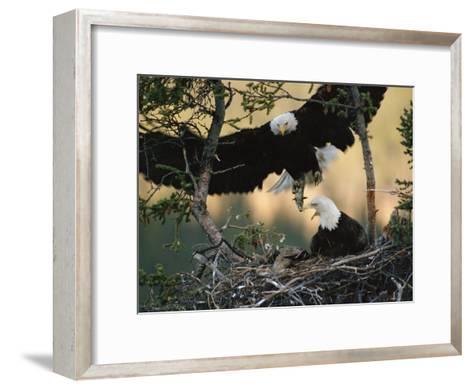 Bald Eagle (Haliaeetus Leucocephalus) Returning to Nest with Food for Chicks, Alaska-Michael S^ Quinton-Framed Art Print