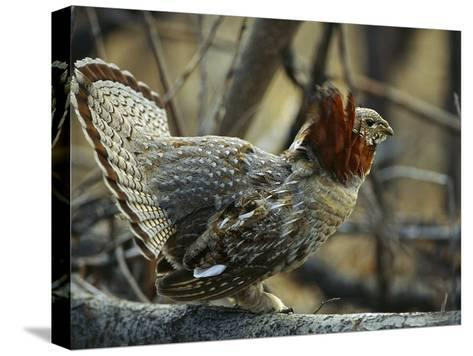 Ruffed Grouse (Bonasa Umbellus) Male in Courtship Display, North America-Michael S^ Quinton-Stretched Canvas Print