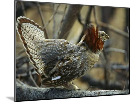 Ruffed Grouse (Bonasa Umbellus) Male in Courtship Display, North America-Michael S^ Quinton-Mounted Photographic Print