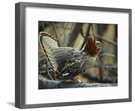 Ruffed Grouse (Bonasa Umbellus) Male in Courtship Display, North America-Michael S^ Quinton-Framed Art Print
