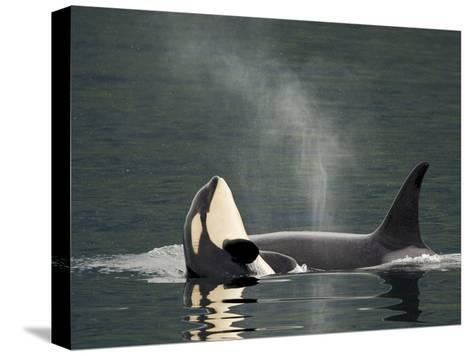 A Killer Whale Calf Raises Out of the Water Next to an Adult-Ralph Lee Hopkins-Stretched Canvas Print