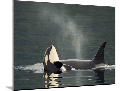 A Killer Whale Calf Raises Out of the Water Next to an Adult-Ralph Lee Hopkins-Mounted Photographic Print