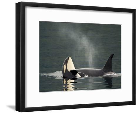 A Killer Whale Calf Raises Out of the Water Next to an Adult-Ralph Lee Hopkins-Framed Art Print