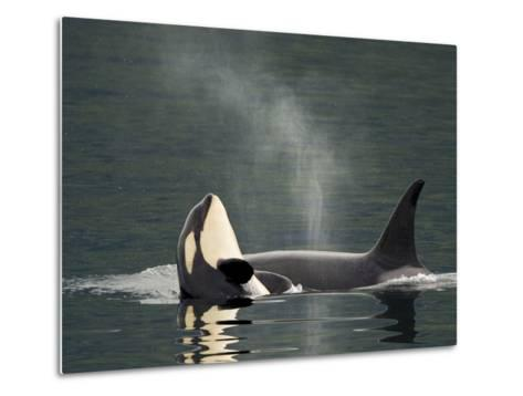 A Killer Whale Calf Raises Out of the Water Next to an Adult-Ralph Lee Hopkins-Metal Print
