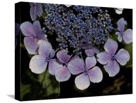 Close Up of Blue Hydrangea Flowers-Joe Petersburger-Stretched Canvas Print