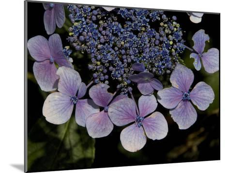 Close Up of Blue Hydrangea Flowers-Joe Petersburger-Mounted Photographic Print