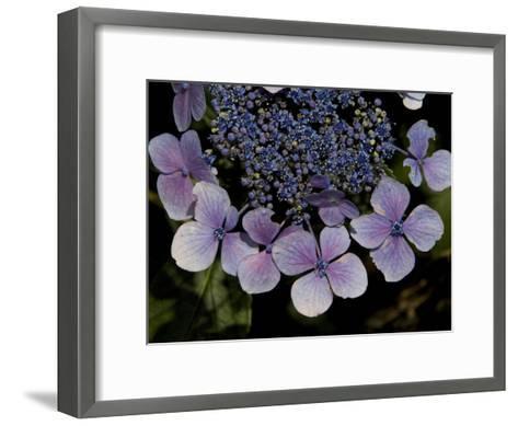Close Up of Blue Hydrangea Flowers-Joe Petersburger-Framed Art Print