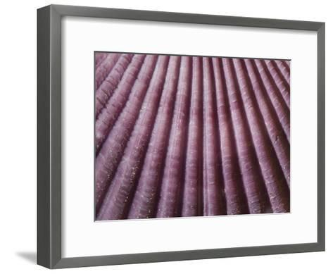 Close Up of a Chlamys Genus Scallop from Japan-Joe Petersburger-Framed Art Print