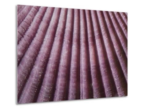Close Up of a Chlamys Genus Scallop from Japan-Joe Petersburger-Metal Print