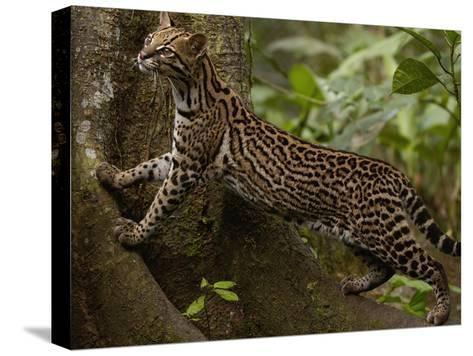 Ocelot (Felis Pardalis) Climbing on Buttress Root, Amazon Rainforest, Ecuador-Pete Oxford-Stretched Canvas Print